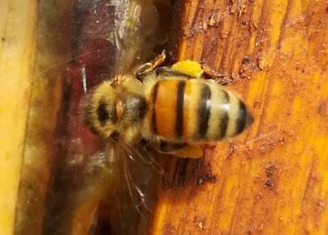 Honigbiene mit Pollen an den Beinen