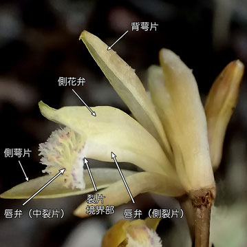 #7 ウスキムヨウラン 花の側面