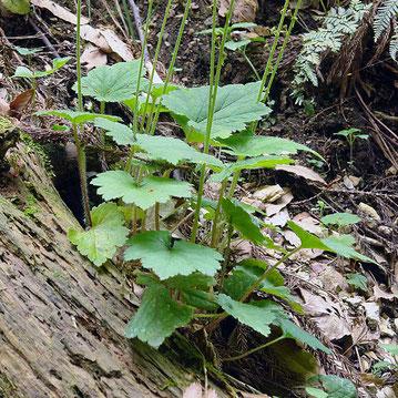 #5 コシノチャルメルソウの根生葉には柄がある