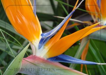 Rondreis Zuid-Afrika Safari Bobotie Reizen Strelitzia bloem