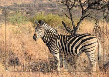 Rondreis Zuid-Afrika Safari Bobotie Reizen Zebra Safari Pilanesberg National Park