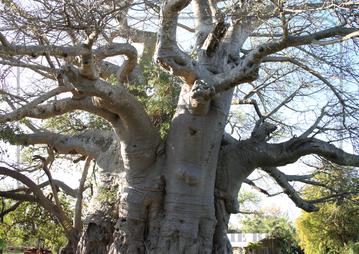 Rondreis Zuid-Afrika Safari Bobotie Reizen Baobab boom biggest