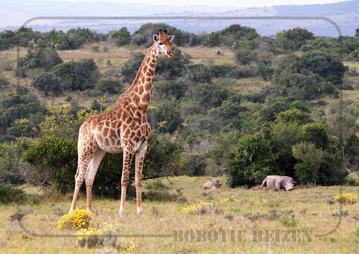 Rondreis Zuid-Afrika Safari Bobotie Reizen Giraf Neushoorn Safari