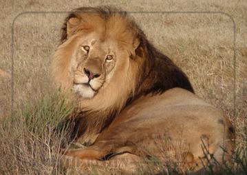 Rondreis Zuid-Afrika Safari Bobotie Reizen Leeuw safari