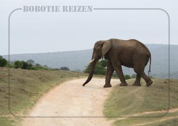 Rondreis Zuid-Afrika Safari Bobotie Reizen Olifant op de weg