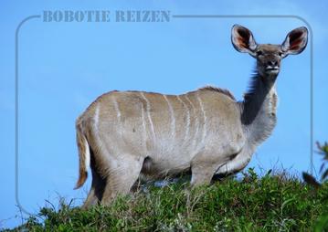 Rondreis Zuid-Afrika Safari Bobotie Reizen Kudu Safari