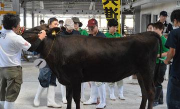 畜産共進会で出場牛の審査が行われた=25日、八重山家畜市場
