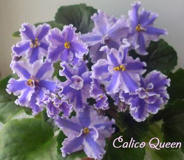 Calico Queen