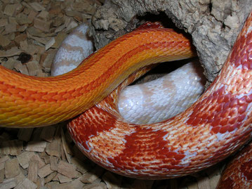 Kornnattern Sunglow striped, Pink-blochet-Snow, Amelanistic