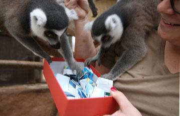 Revierleiterin Carina Decker mischte die Lostrommel und ließ sich von ihren Glücksfeen unterstützen. Die Kattas aus dem Exotenhaus ermittelten die Gewinner der Wunschboxaktion.