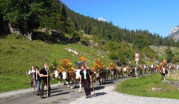 Festlich geschmückte Kühe beim Alpabzug aus dem Justistal im Berner Oberland. Foto: Christoph Schumann, 2019/20