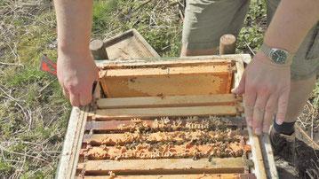 #Bienenvolk #Ableger #imkern