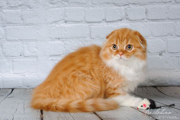 котик  Искандер хайлен фолд, окрас красный  биколор