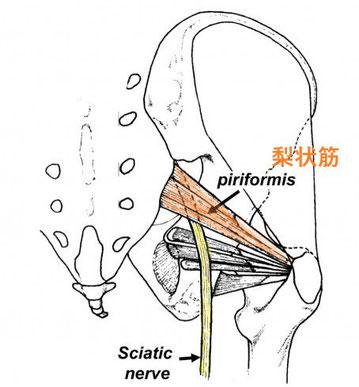 ドクターバンカイロプラクティック:Dr.Ban Chiropractic in Osaka:梨状筋症候群