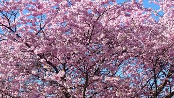Blühender - rosafarbener Zierkirschbaum aus unserer Nachbarschaft.