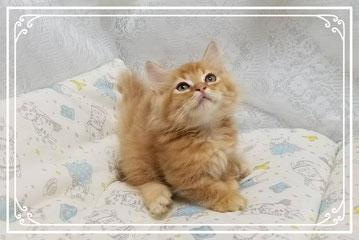 短足マンチカン子猫の激安販売【関東・埼玉】ブリーダーから直接お迎えで、安心・安い!