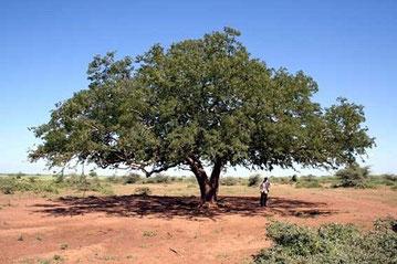 Tamarindo nel deserto del Marocco