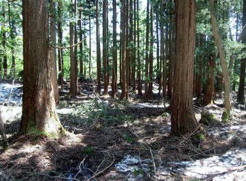 中腹の杉林の林床は残雪だらけ。