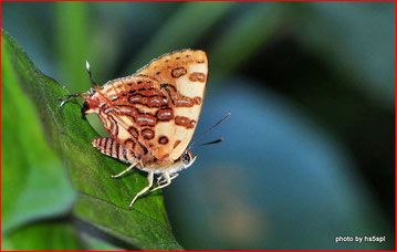 サイトにアップされている Spindasis masaeae の生態写真。