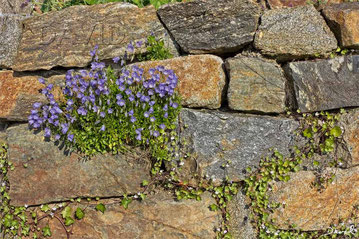 Rundblättrige Glockenblume Campanula rotundifolia Trockenmauer