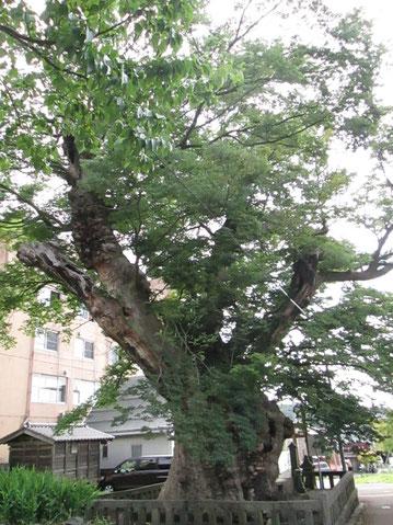 雨の「蛸欅」枝がタコの足のよう!