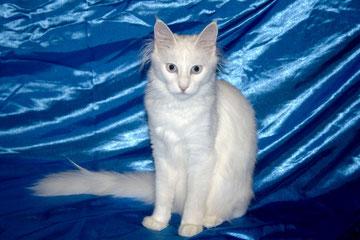 Первый котенок женского пола, рожденный в питомнике - дочка Дилары и Боливара CH CFA, ICH FIFe Lada Kedi Aelita, белая, голубоглазая, полностью слышащая, а теперь и Чемпионка CFA и Интерчемпионка FIFe!