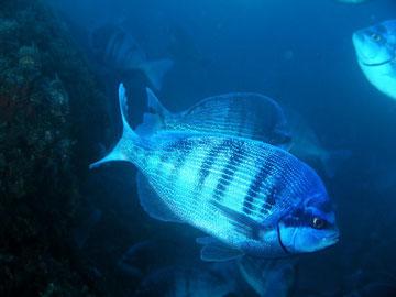 Pesci del mediterraneo pescheria arbulla for Pesce rosso razza
