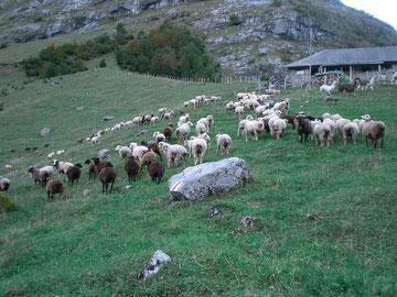 150 Schafe von verschiedenen Besitzern und 4 Lamas warten auf die Alpabfahrt in Engelberg