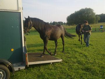 Nach erfolgreichem Hängertraining mit Koko als Vorbild - auf zur internationalen Morgan-Horse-Show im August 2011