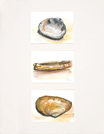 Aquarellzeichnung   Nordseemuscheln