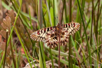 Zerynthia polyxena (Denis & Schiffermüller, 1775), una farfalla molto bella.
