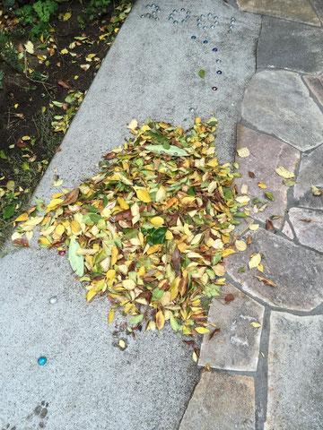 毎日繰り返されるシマトネリコの葉の掃き掃除。結構大変です。