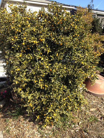 常緑低木のキンカン どんどんと実がなるし生け垣にも使える