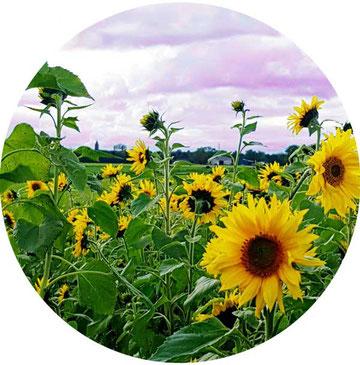 Reiki, Reiki-Behandlung, Trauer, Lebensenergie, Sonnenblumenfeld