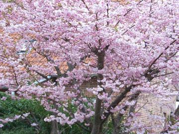 ドイツでも桜が満開でした!