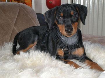 Bella-Donna vom Sylbachtal (Bella) 12 Wochen alt