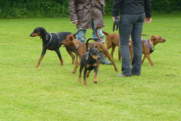 Gruppenbild (Loki, Chester, Bojo und Lucy) und noch mehr Pinscher..;-)