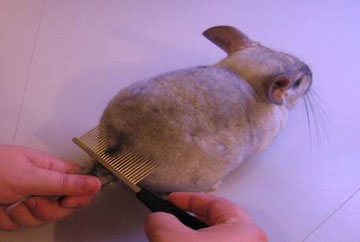 Modo de coger una chinchilla para peinarla. Fuente: chinchillas.es