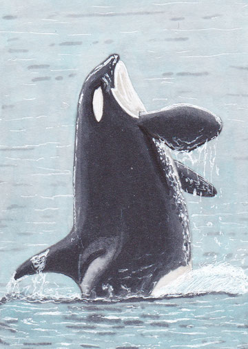 An ACEO or sketchcard of one of my favorite orca's, J16 Slick, a female Southern Resident living near the East Coast of the US.