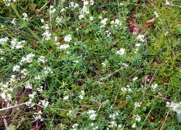 Hercynisches Labkraut (Galium saxatile) im Wald bei Agenbach