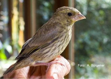 junger Grünfink kurz vor seiner Entlassung