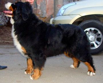 Бернский зенненхунд  Bernese Mountain Dog