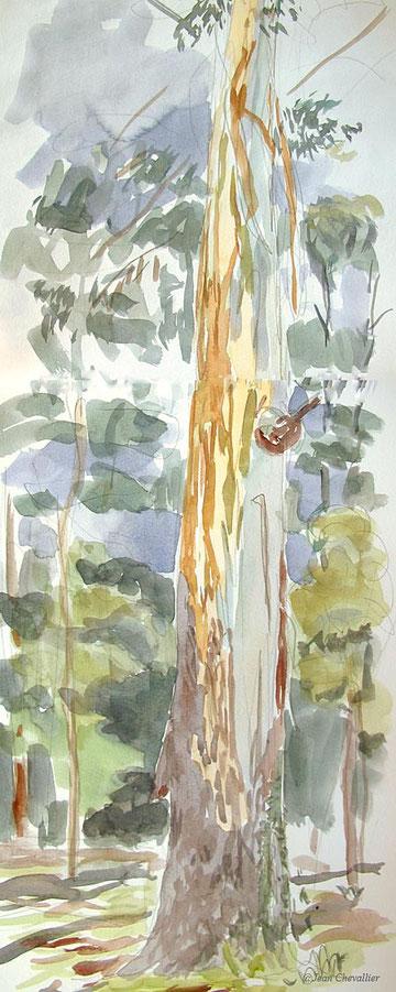 Vieil eucalyptus, aquarelle Jean Chevallier
