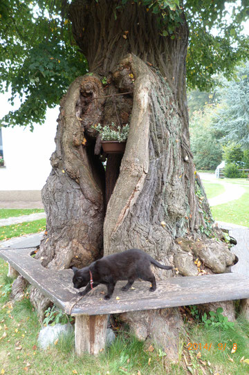 mehrhundertjährige, stark ausgehöhlte Winter-Linde in Guteborn