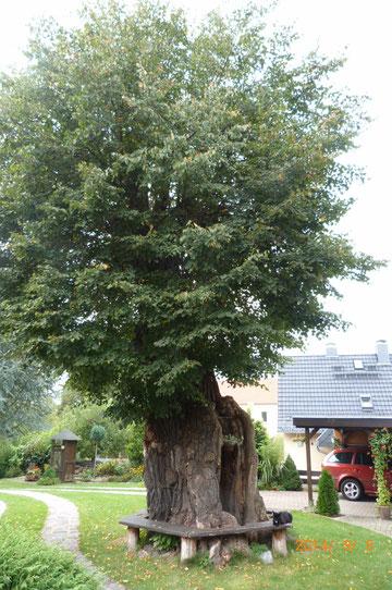mehrhundertjährige Linde auf einem Privatgrundstück in Guteborn (Sachsen)