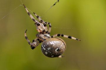 Epeire diadème - Araneus diadematus - Ensoulesse (86) - Octobre 2010