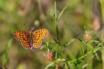 Petite violette - Buxerolles (86) - 09/09/2012
