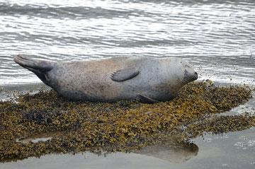 Le phoque commun - Phoca vitulina - Cromarty Firth (Ecosse) - Juillet 2008