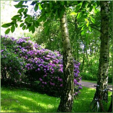 Rhododentron bestaunt ...