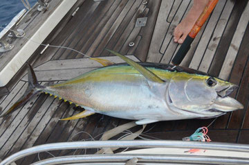 Yellowfin Thun, Nordostkueste Brazil, September 2012